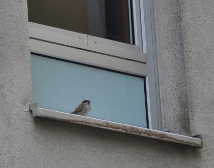 spatzenfenster