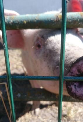 schweinsnase