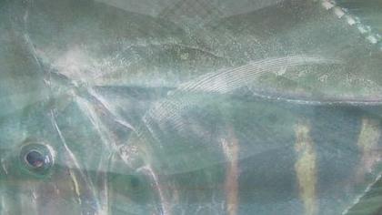 silberfisch